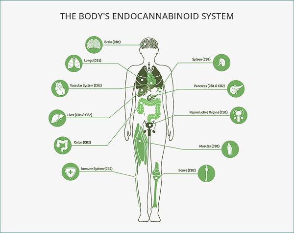 Why use CBD oil? The Endocannainoid System
