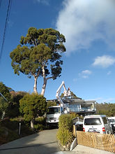 Peppermint Gum tree pruning Sandy Bay