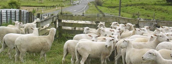 sheep photo .jpg
