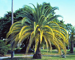 magnesium_deficient_palm.jpg