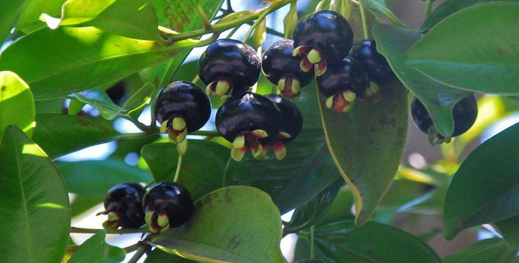 Grumichama (black)
