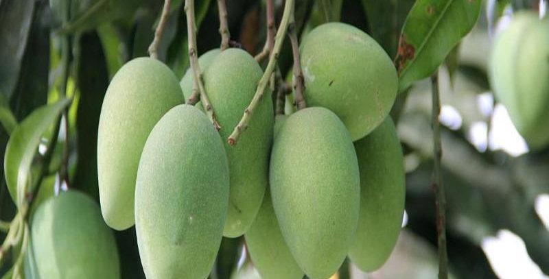 Mango | Hymyat Prasad