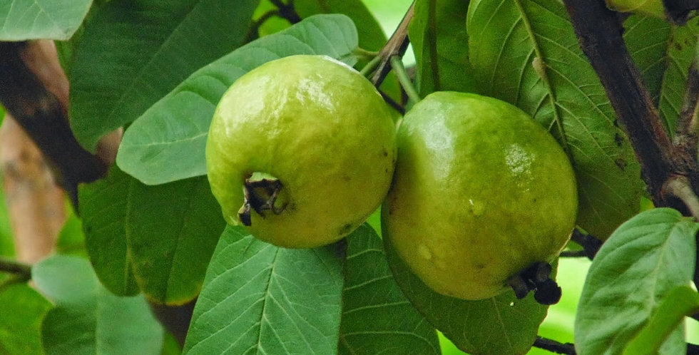 Guava | Indian