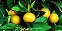 Citrus | Mandarin