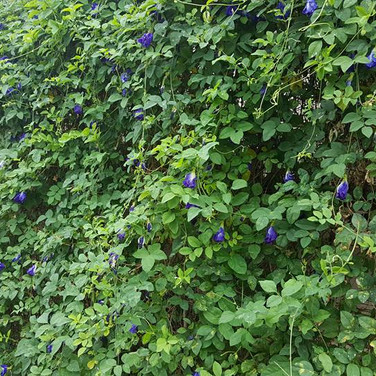 The Blue Butterfly Pea flower plantation