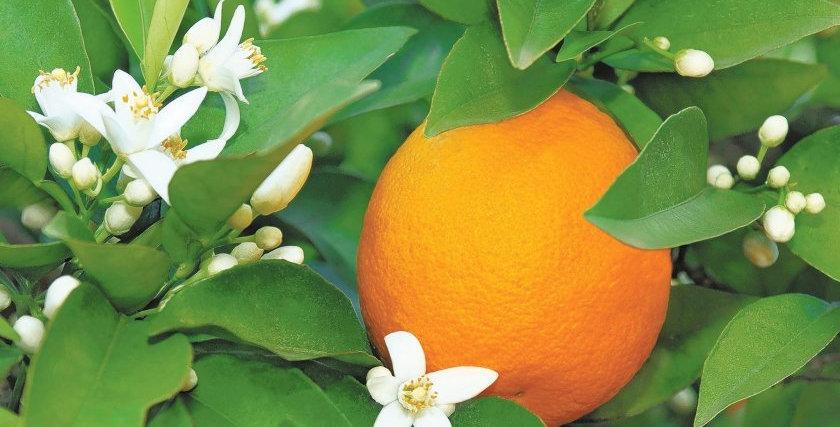 Citrus | Orange