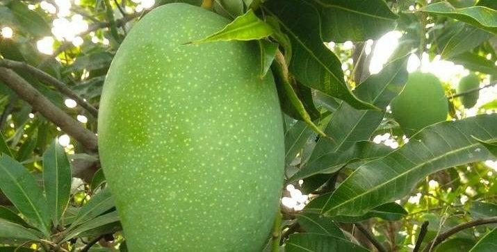 Mango | Bangalora