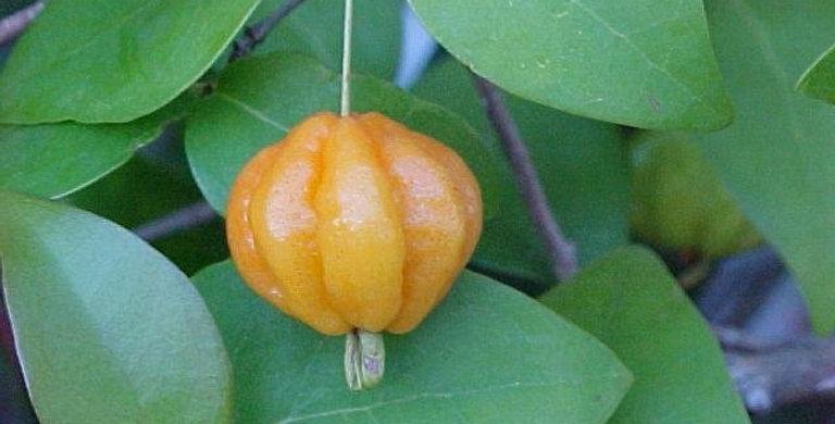 Brazilian/Surinam Cherry - Orange
