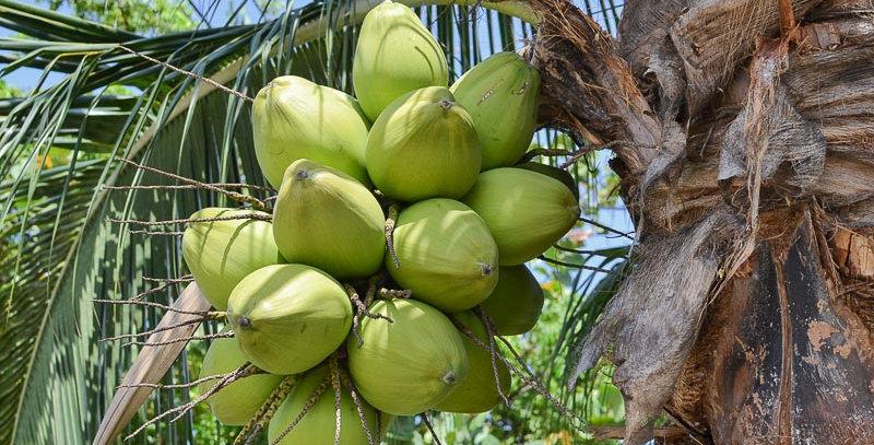 Coconut | regular