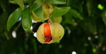 Australian Native Tamarind | Diploglottis campbellii