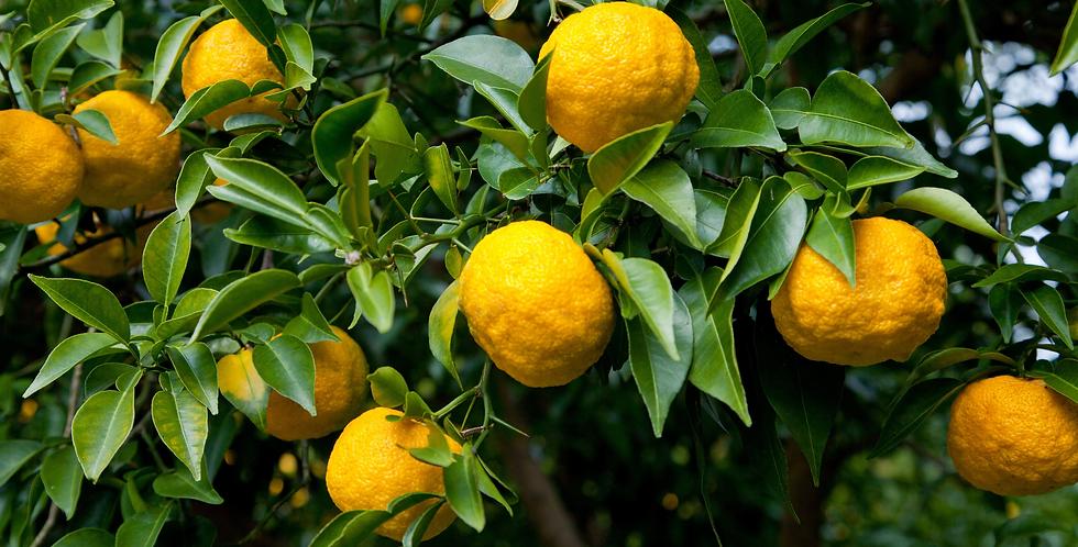 Citrus | Yuzu