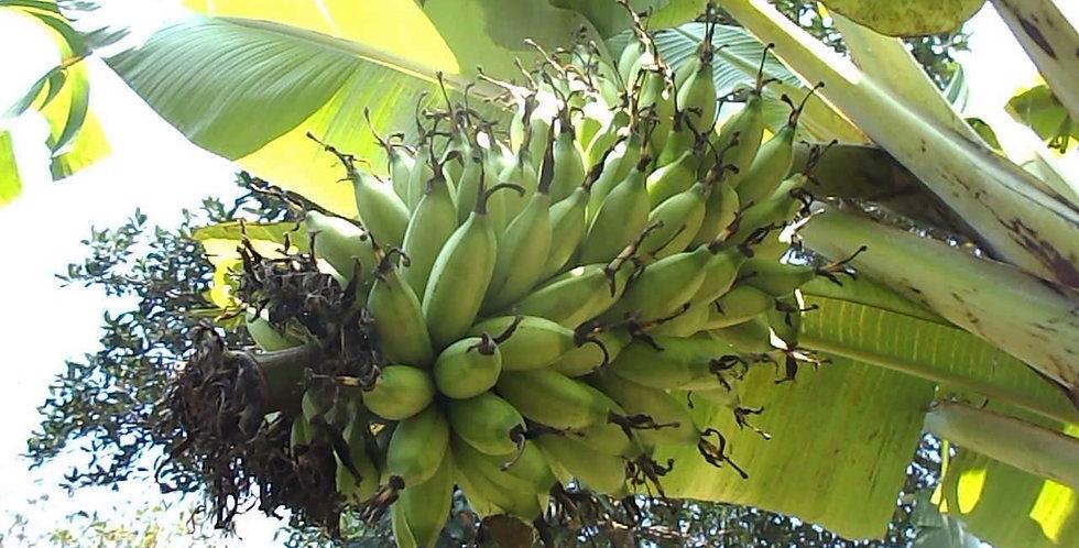 Banana | Lady Finger