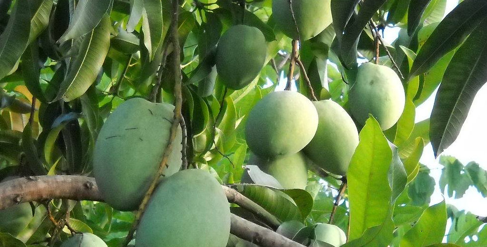 Mango | Duncan