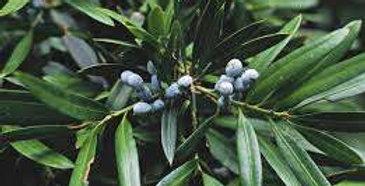Plum Pine