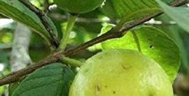 Guava | Brazilian