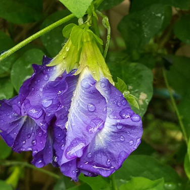 Clitoria Ternatea or the Blue Butterfly Pea Flower