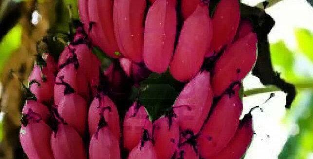 Banana | Red Dacca