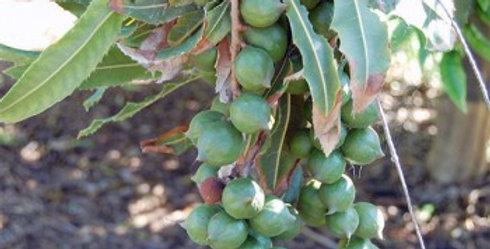 Australian Native Macadamia | tetraphylla