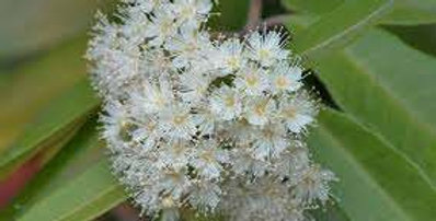 Australian Native Myrtle | Lemon
