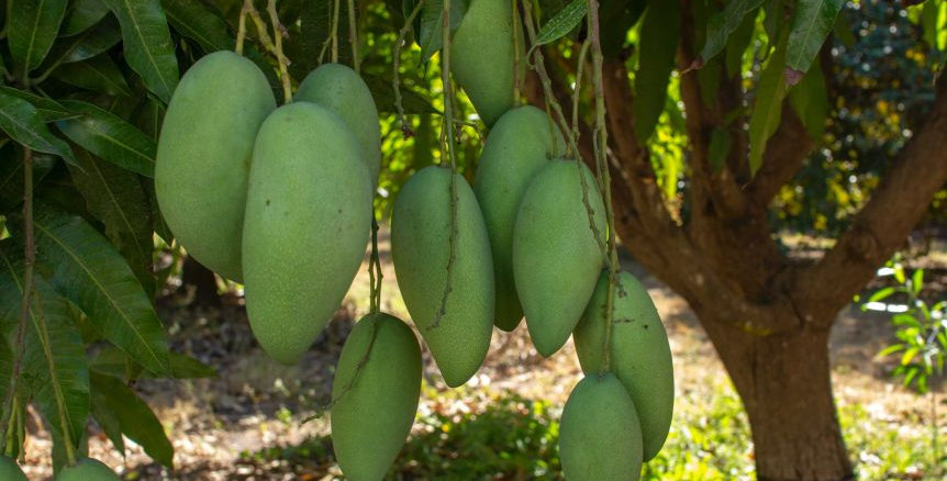 Mango | New Guinea Long