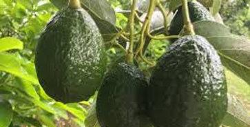 Avocado | Linda
