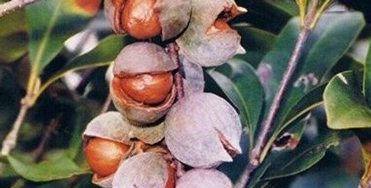 Australian Native Macadamia | Jansenii