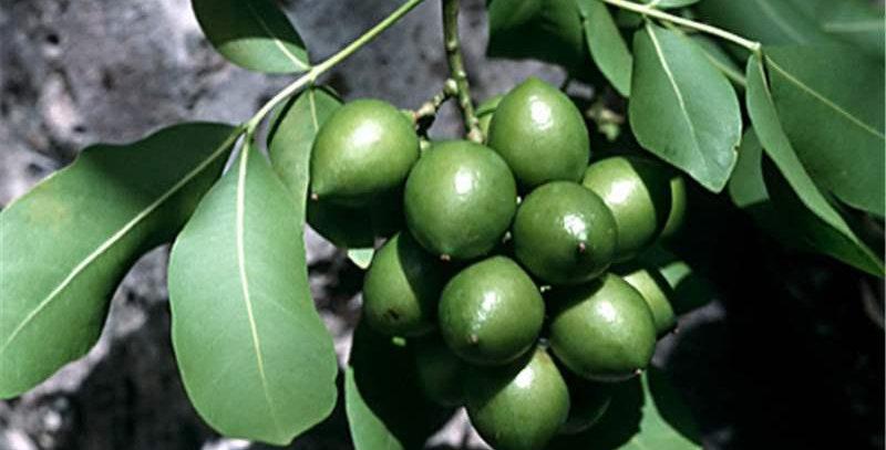 Mamoncillo/Spanish Lime