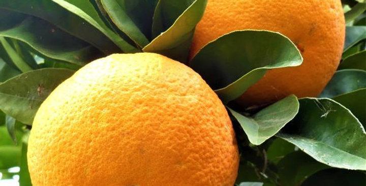 Citrus | Navel Orange
