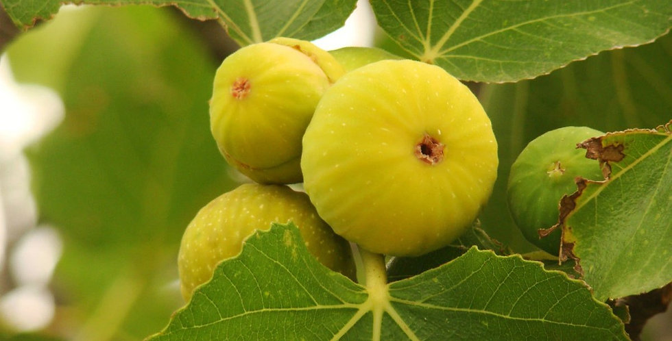 Fig | yellow