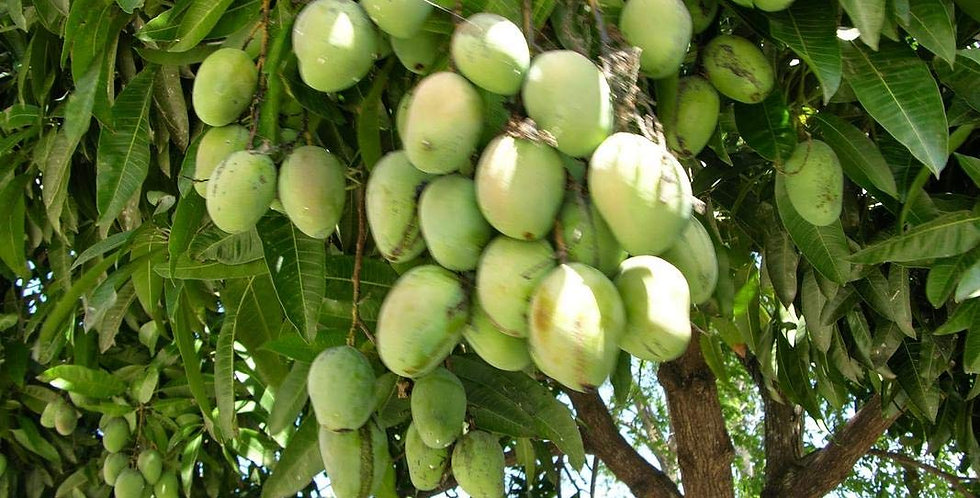 Mango | Chandrakaran