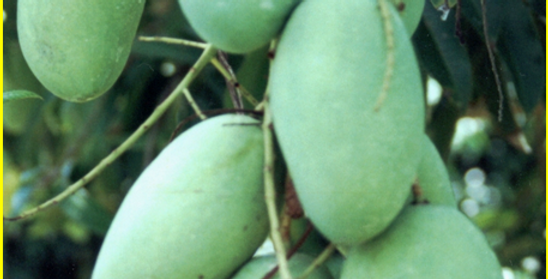 Mango | Carabao 2