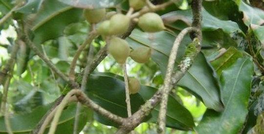 Australian Native Macadamia | integrifolia