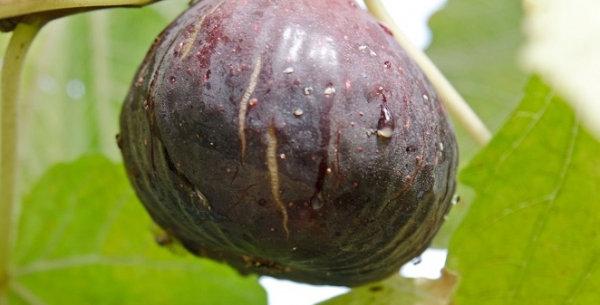 Fig | black