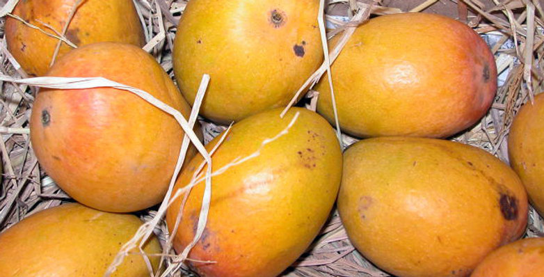 Mango | Alphonso