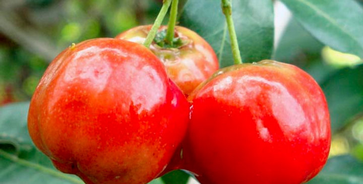 Acerola/Barbados cherry