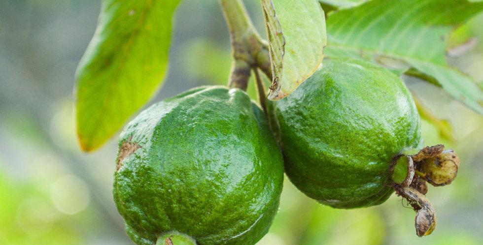 Guava | Common