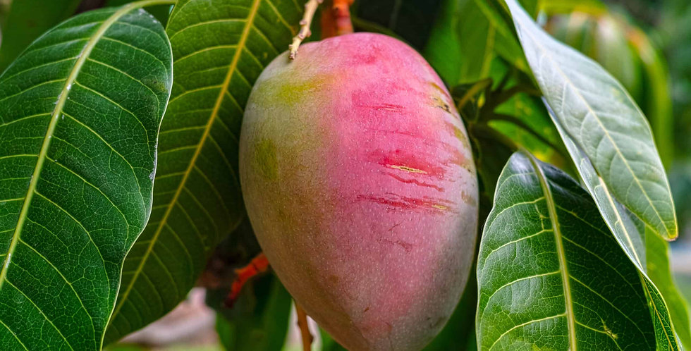 Mango | Fascell