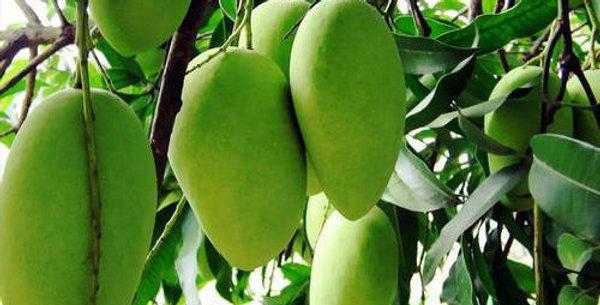 Mango |Kesar