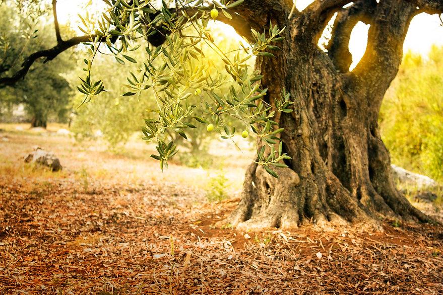 olive_tree.jpg
