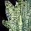 Thumbnail: Dracaena trifasciata