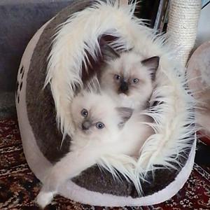 LovelyDolls kiscicák