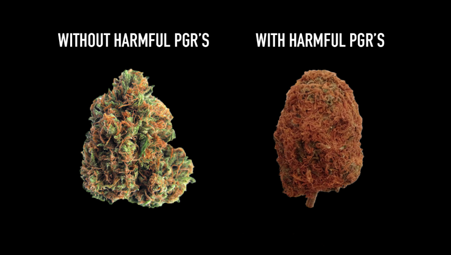 Healthy Marijuana Grown Without PGR on the Left and Harmful Marijuana Grown with PGR on Right