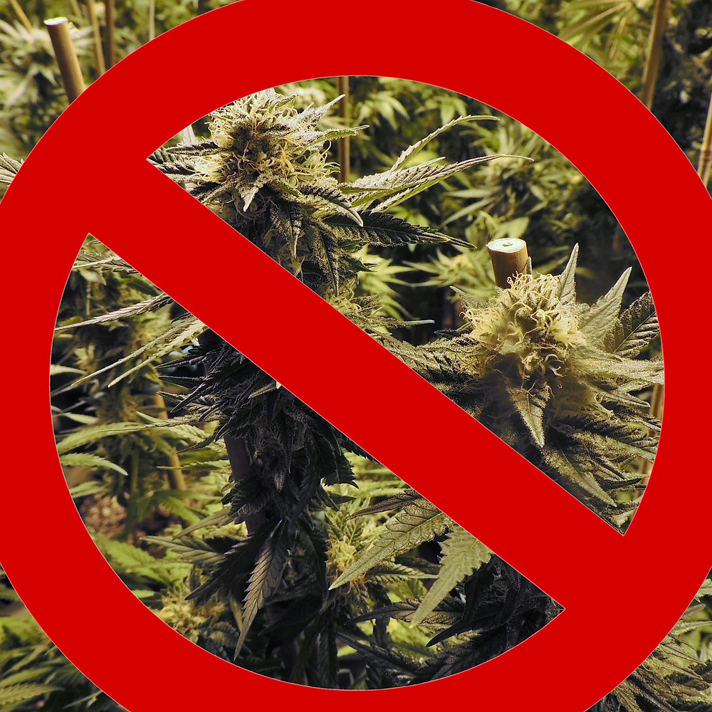 "Marijuana Plant with Red ""Do Not"" Sign"
