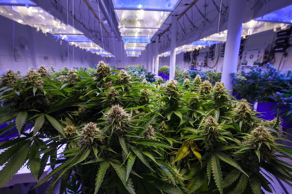 Marijuana Plants Being Grown Inside with Lights Hanging Over