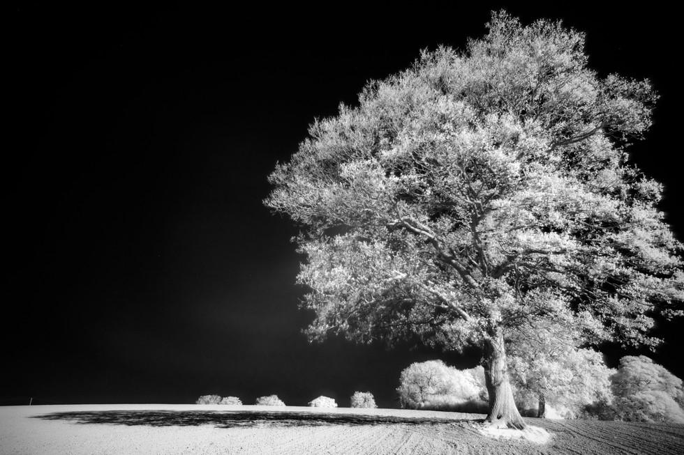 Sussex tree.jpg
