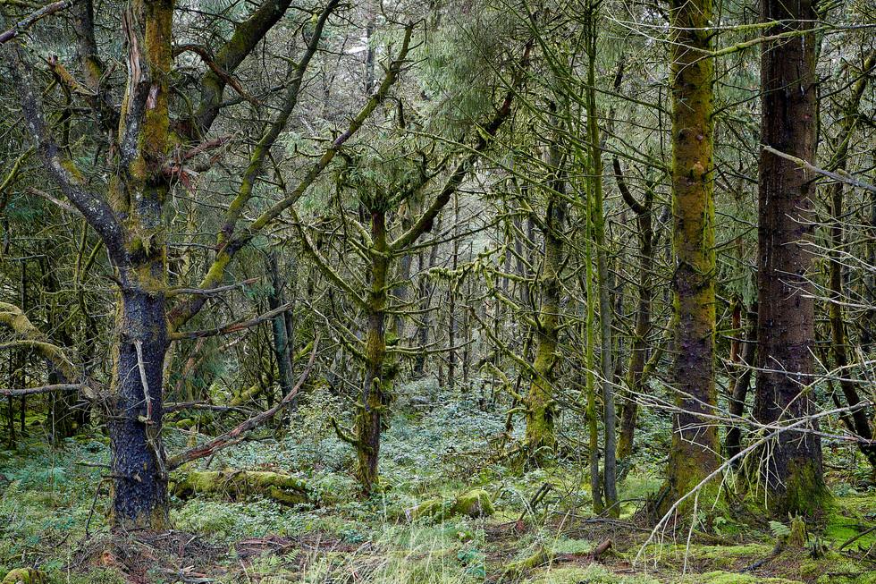 Pine Lichen 2 1.jpg