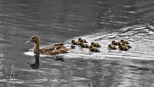 Ducks 2.jpg