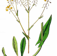 Färberpflanzen