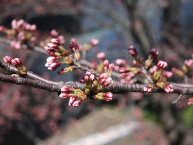 裏の桜が開きました!