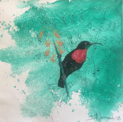 Scarlet chested sunbird - 30 X 30cm.jpg